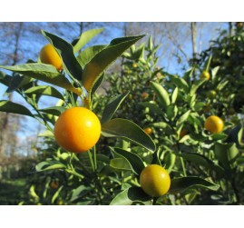 Kumquats ronds bio